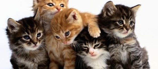 Hangi Kedi Türü Bana Uygun? Doğru Kedi Seçimi