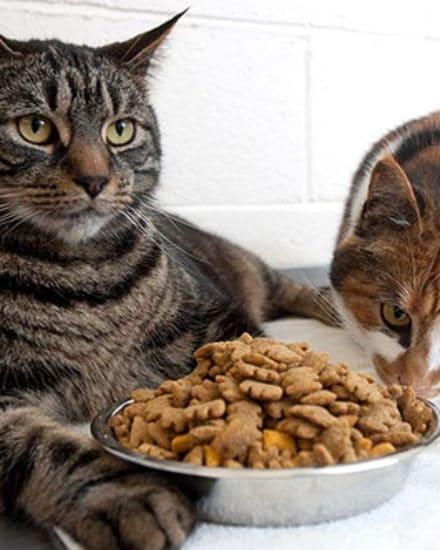 Hazır Mamalar Kediler İçin Sağlıklı Mı?