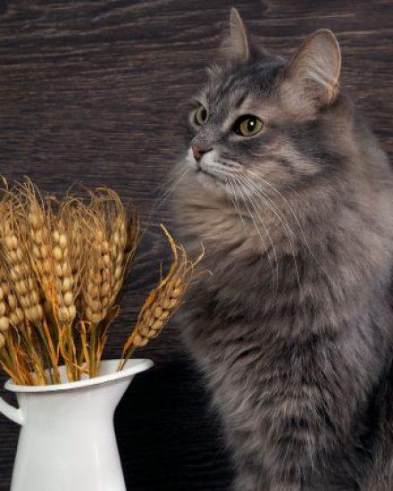 Tahılsız Kedi Mamaları Sağlıklı Mı? Tahıllı Vs. Tahılsız