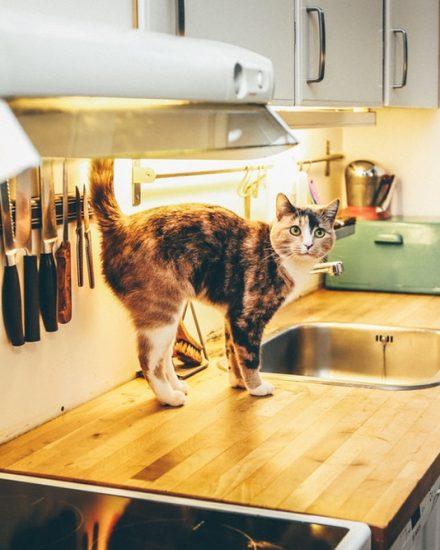 Çiğ Kedi Maması Tarifi – Evde Çiğ Kedi Maması Hazırlamak