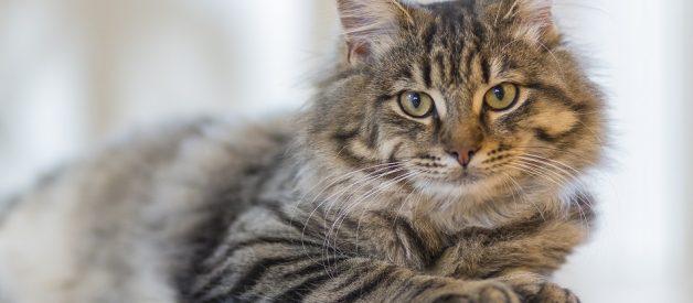 Ev Yapımı Kedi Ödül Maması Tarifi