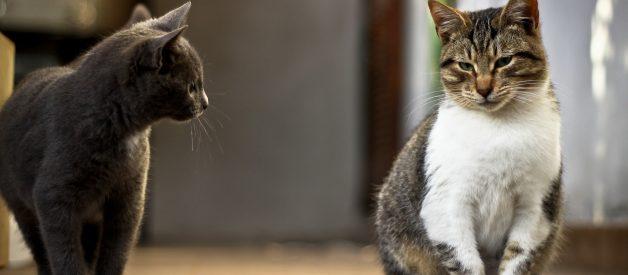 Kedileri Birbirine Alıştırmak – Kediler Nasıl Tanıştırılır?