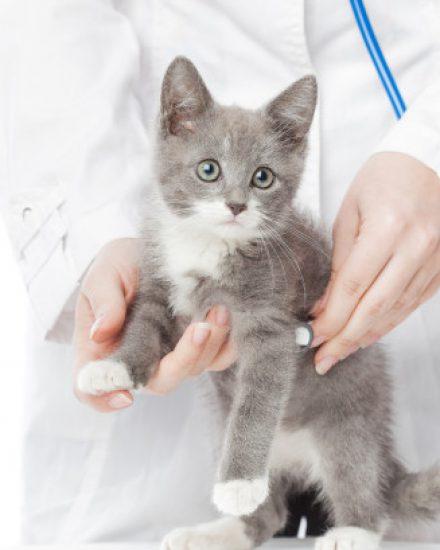Kedilerde Corona Virüsü ve Fip Hastalığı